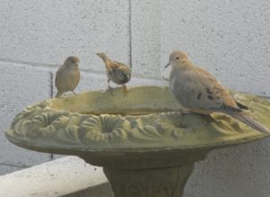 A large pigeon and two small sparrows sip water from a green cement bird bath