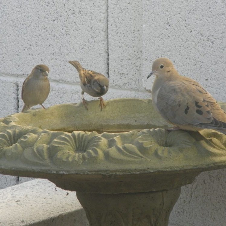 Pigeons and sparrows drink from a green, cement bird bath