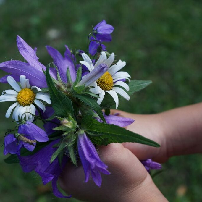 A bouquet of daisies and purple flowers held in the hands of a child offered as a gift.